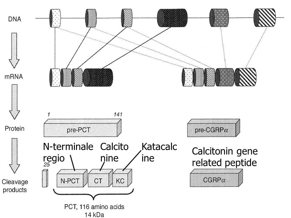 N-terminale regio Calcito nine Katacalc ine Calcitonin gene related peptide