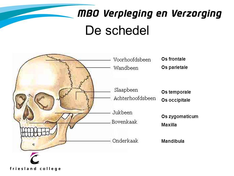 De schedel Os frontale Os parietale Os temporale Os occipitale Os zygomaticum Maxilla Mandibula