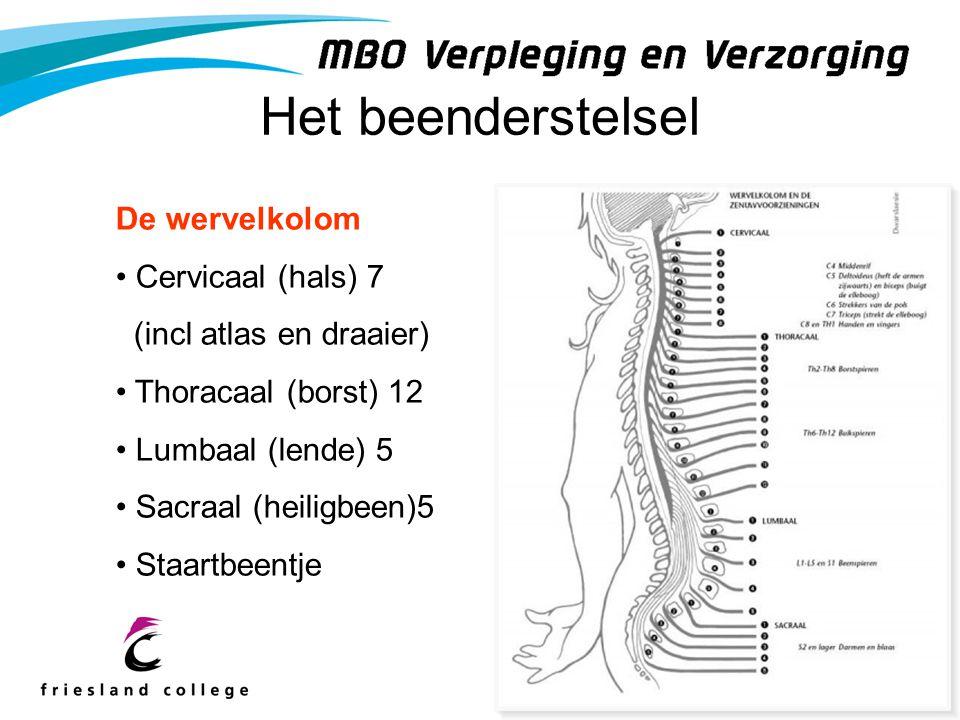Het beenderstelsel De wervelkolom Cervicaal (hals) 7 (incl atlas en draaier) Thoracaal (borst) 12 Lumbaal (lende) 5 Sacraal (heiligbeen)5 Staartbeentj