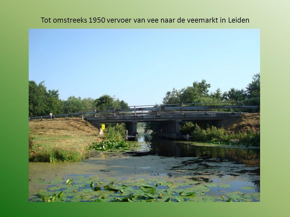 Tot omstreeks 1950 vervoer van vee naar de veemarkt in Leiden