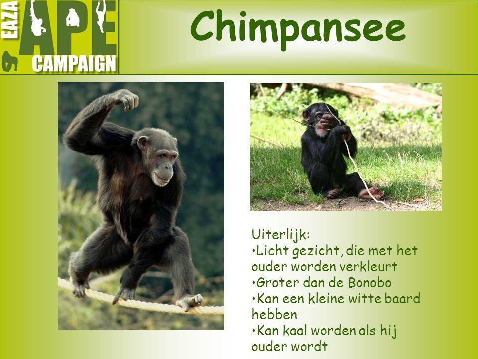 Chimpansee Uiterlijk: Licht gezicht, die met het ouder worden verkleurt Groter dan de Bonobo Kan een kleine witte baard hebben Kan kaal worden als hij