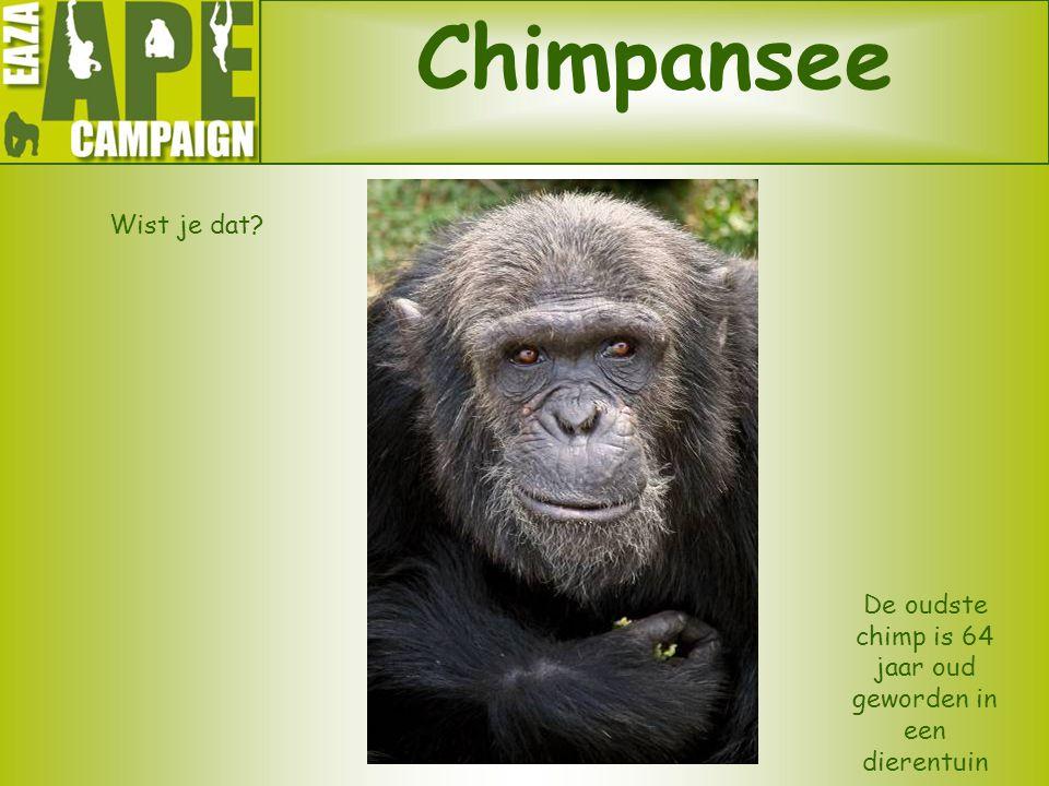 Chimpansee Wist je dat? De oudste chimp is 64 jaar oud geworden in een dierentuin