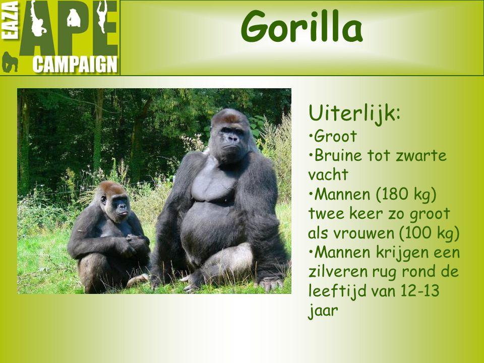 Gorilla Uiterlijk: Groot Bruine tot zwarte vacht Mannen (180 kg) twee keer zo groot als vrouwen (100 kg) Mannen krijgen een zilveren rug rond de leeft