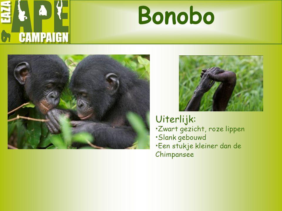 Bonobo Uiterlijk: Zwart gezicht, roze lippen Slank gebouwd Een stukje kleiner dan de Chimpansee