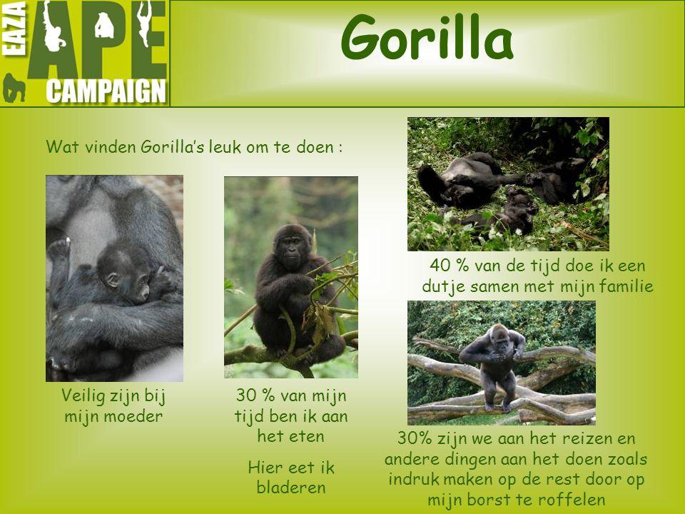 Gorilla Wat vinden Gorilla's leuk om te doen : Veilig zijn bij mijn moeder 30 % van mijn tijd ben ik aan het eten Hier eet ik bladeren 40 % van de tij