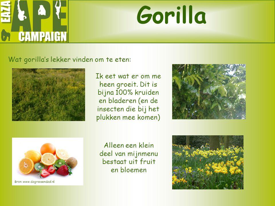Gorilla Wat gorilla's lekker vinden om te eten: Ik eet wat er om me heen groeit. Dit is bijna 100% kruiden en bladeren (en de insecten die bij het plu