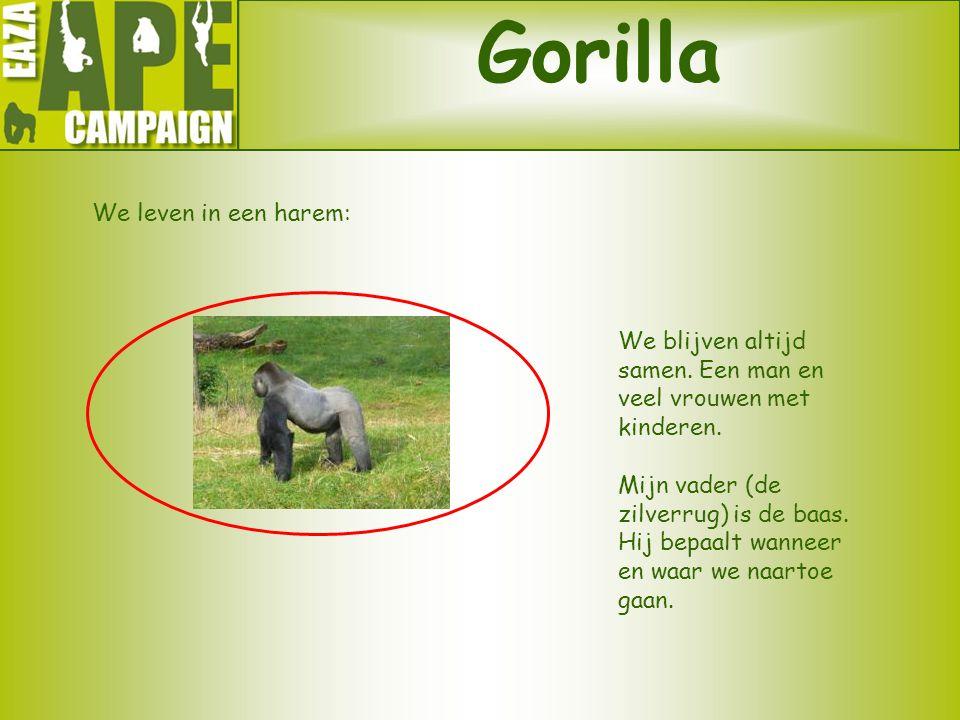 Gorilla We leven in een harem: We blijven altijd samen. Een man en veel vrouwen met kinderen. Mijn vader (de zilverrug) is de baas. Hij bepaalt wannee