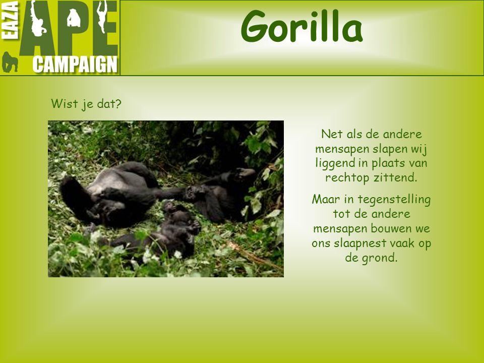 Gorilla Wist je dat? Net als de andere mensapen slapen wij liggend in plaats van rechtop zittend. Maar in tegenstelling tot de andere mensapen bouwen