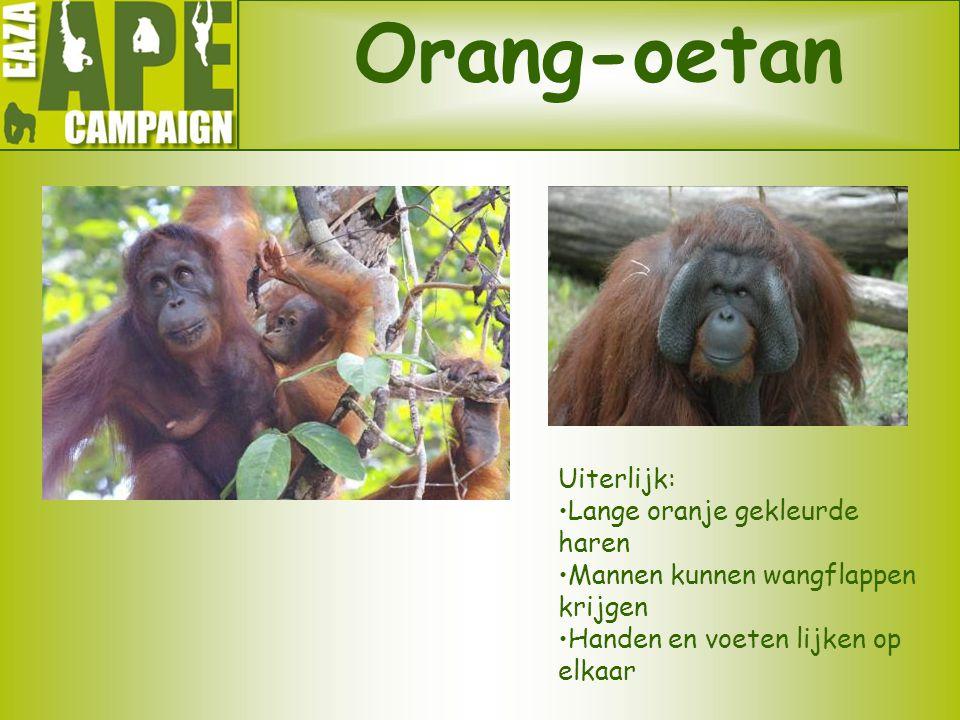 Orang-oetan Uiterlijk: Lange oranje gekleurde haren Mannen kunnen wangflappen krijgen Handen en voeten lijken op elkaar