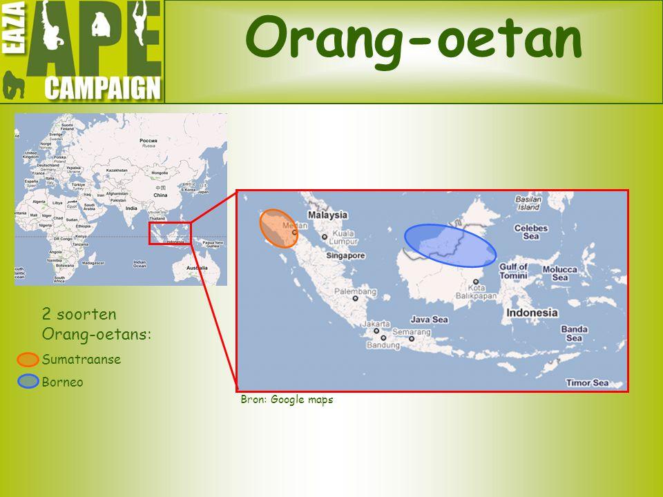 Orang-oetan Bron: Google maps 2 soorten Orang-oetans: Sumatraanse Borneo