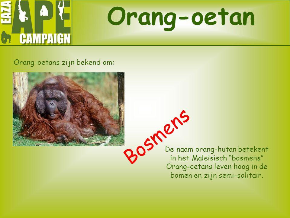 """Orang-oetan Orang-oetans zijn bekend om: Bosmens De naam orang-hutan betekent in het Maleisisch """"bosmens"""" Orang-oetans leven hoog in de bomen en zijn"""
