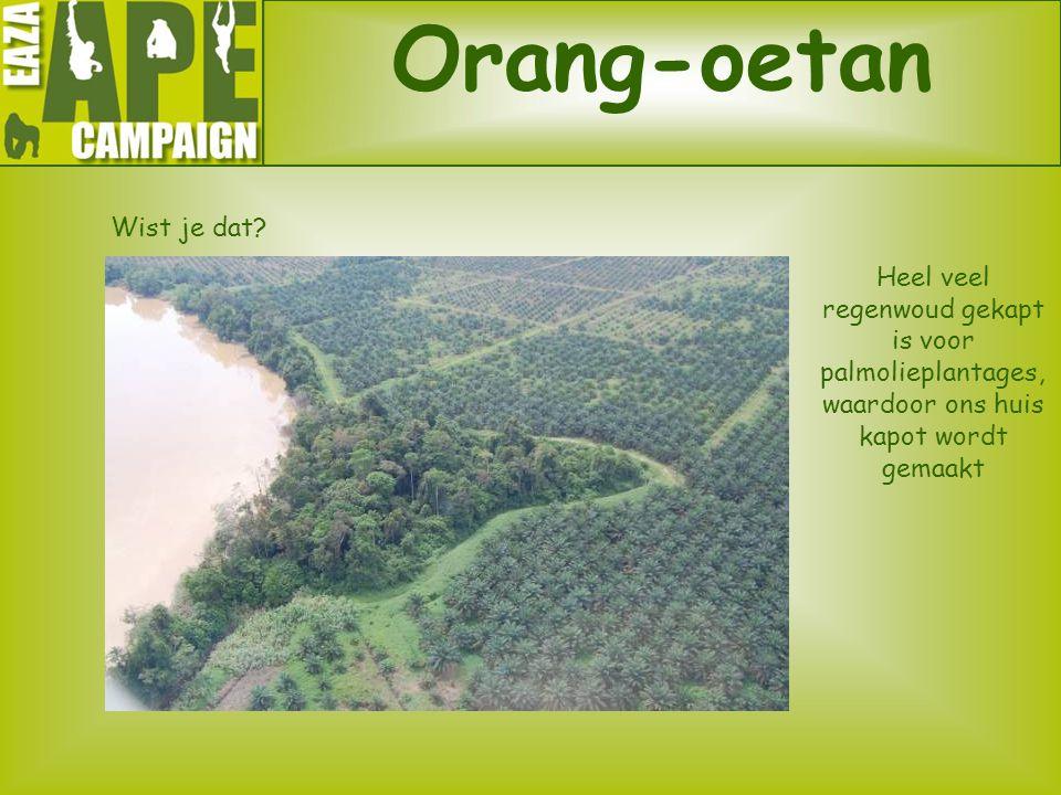 Orang-oetan Wist je dat? ? Heel veel regenwoud gekapt is voor palmolieplantages, waardoor ons huis kapot wordt gemaakt
