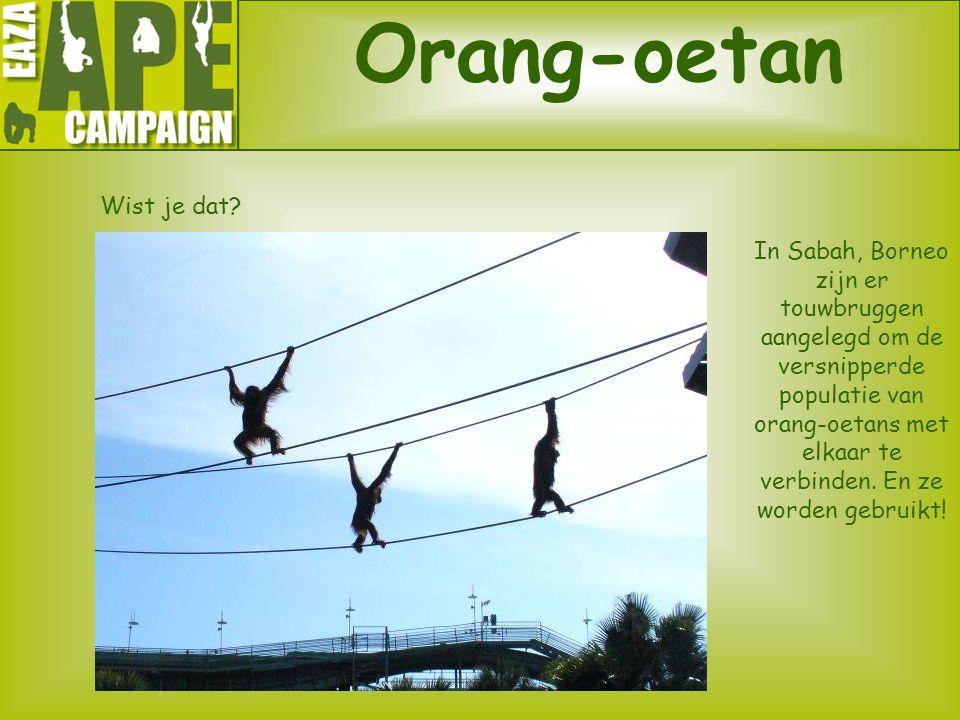 Orang-oetan Wist je dat? ? In Sabah, Borneo zijn er touwbruggen aangelegd om de versnipperde populatie van orang-oetans met elkaar te verbinden. En ze