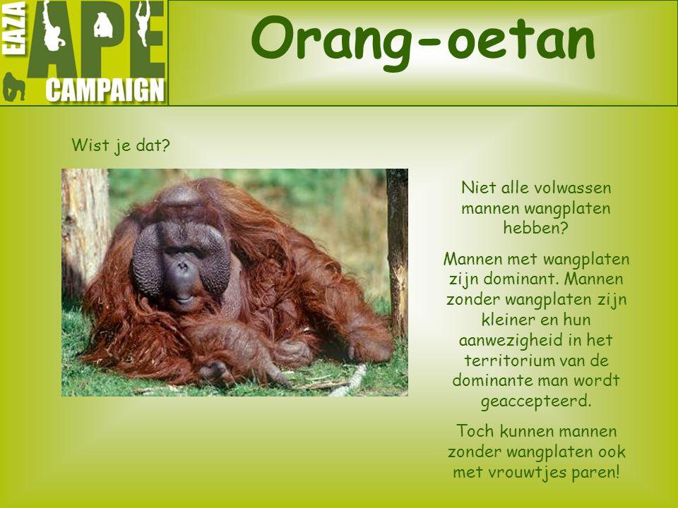 Orang-oetan Wist je dat? Niet alle volwassen mannen wangplaten hebben? Mannen met wangplaten zijn dominant. Mannen zonder wangplaten zijn kleiner en h