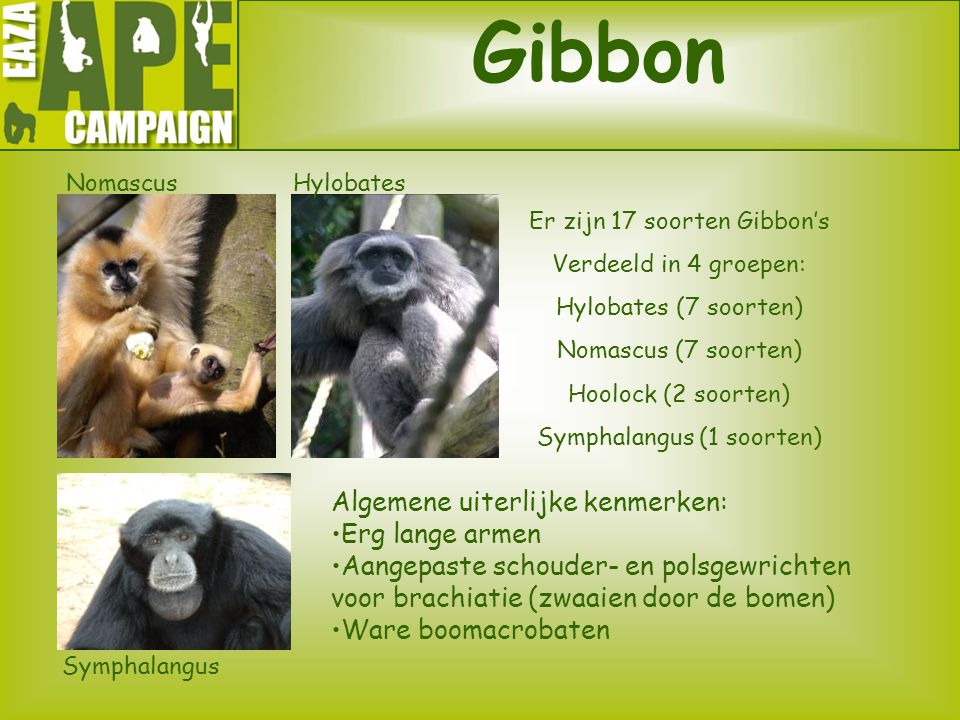 Gibbon Algemene uiterlijke kenmerken: Erg lange armen Aangepaste schouder- en polsgewrichten voor brachiatie (zwaaien door de bomen) Ware boomacrobate