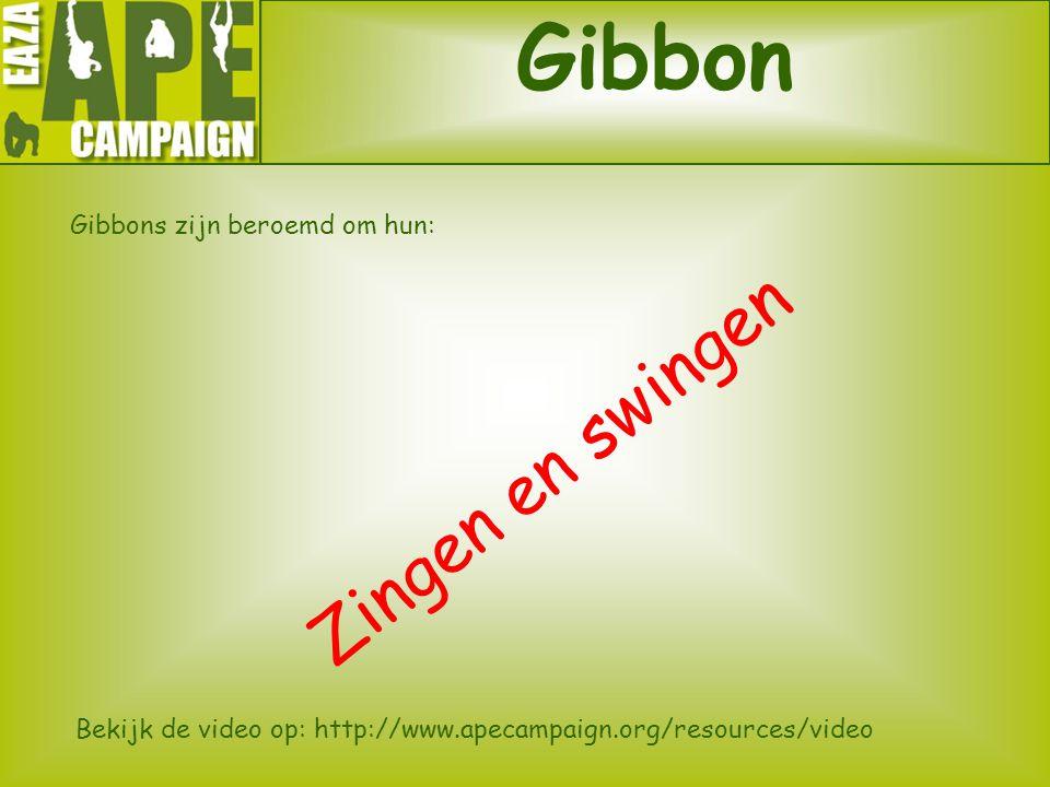 Gibbon Gibbons zijn beroemd om hun: Zingen en swingen Bekijk de video op: http://www.apecampaign.org/resources/video