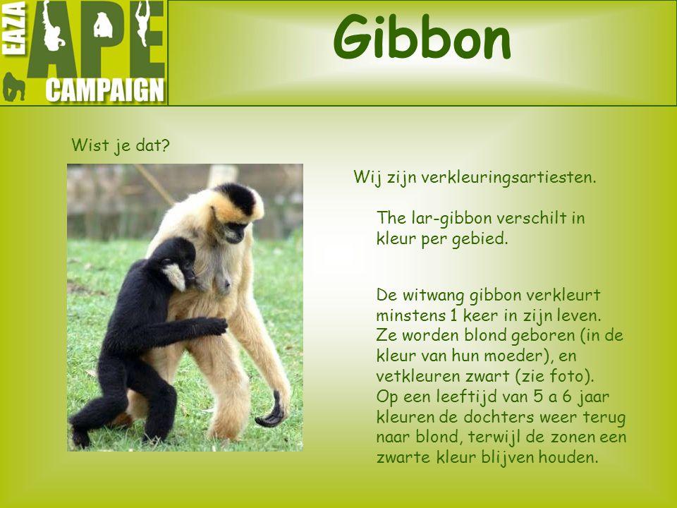 Gibbon Wist je dat? Wij zijn verkleuringsartiesten. The lar-gibbon verschilt in kleur per gebied. De witwang gibbon verkleurt minstens 1 keer in zijn