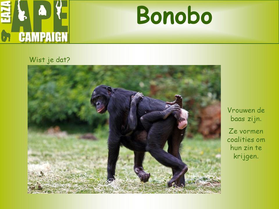 Bonobo Wist je dat? Vrouwen de baas zijn. Ze vormen coalities om hun zin te krijgen.