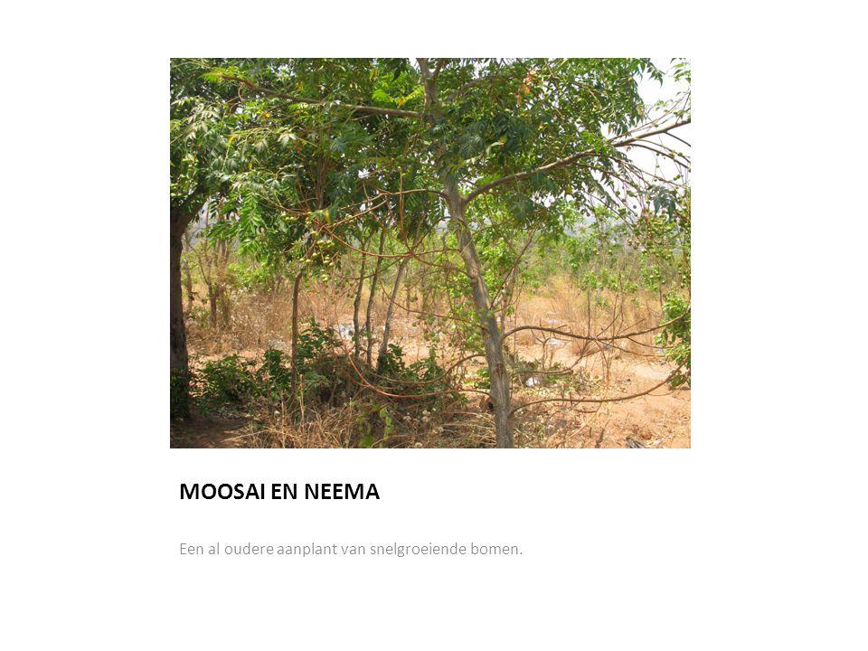 MOOSAI EN NEEMA Een al oudere aanplant van snelgroeiende bomen.