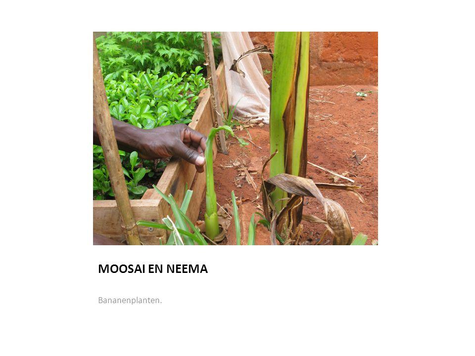 MOOSAI EN NEEMA Bananenplanten.
