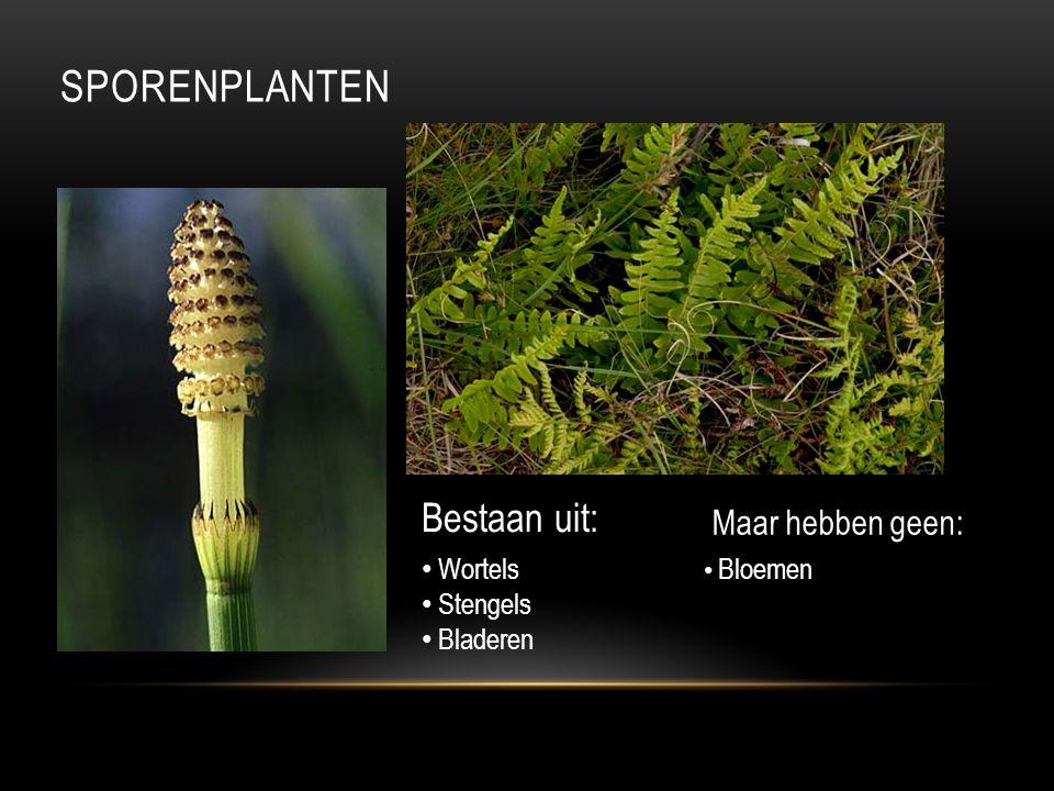 SPORENPLANTEN Bestaan uit: Wortels Stengels Bladeren Maar hebben geen: Bloemen