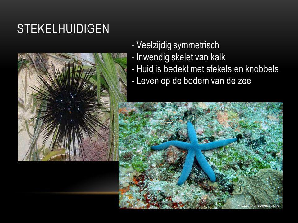 STEKELHUIDIGEN - Veelzijdig symmetrisch - Inwendig skelet van kalk - Huid is bedekt met stekels en knobbels - Leven op de bodem van de zee