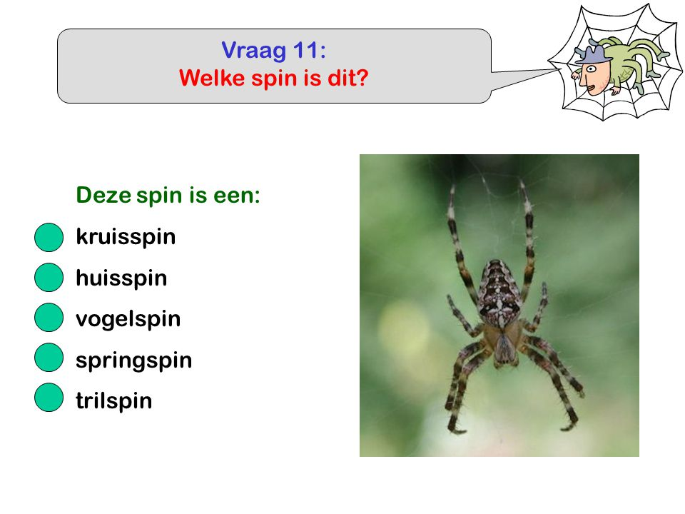 Vraag 11: Welke spin is dit? Deze spin is een: kruisspin huisspin vogelspin springspin trilspin