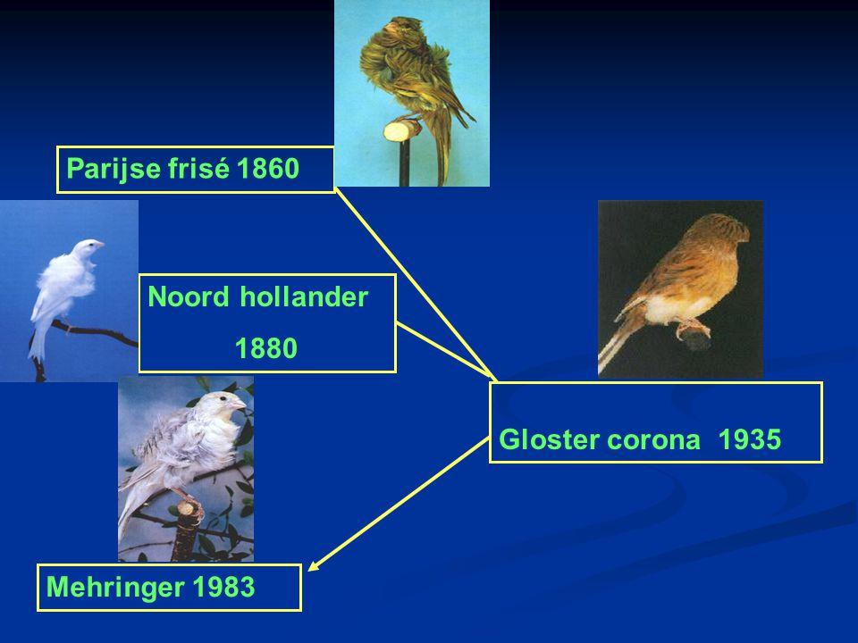 Grote van Gent 1700 Belgische bult 1800 Parijse frise, Noordhollander x Gloster corona = Mehringer Lizard 1640 Norwich 1860 Yorkshire1880 Border 1890