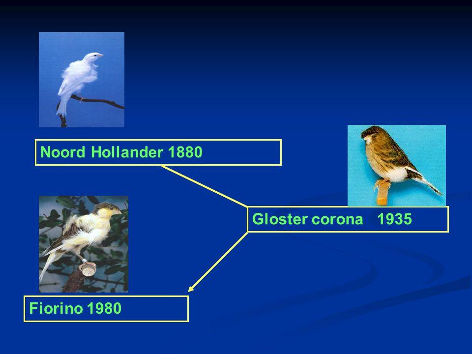 Grote van Gent 1700 Belgische bult 1800 Noord hollander x Gloster corona = Fiorino Lizard 1640 Norwich 1860 Yorkshire1880 Border 1890 Gloster consort