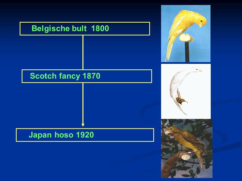 Grote van Gent 1700 Belgische bult 1800 Belgische bult x Scotch fancy = Japan Hoso Lizard 1640 Norwich 1860 Yorkshire1880 Border 1890 Gloster 1935 Fif