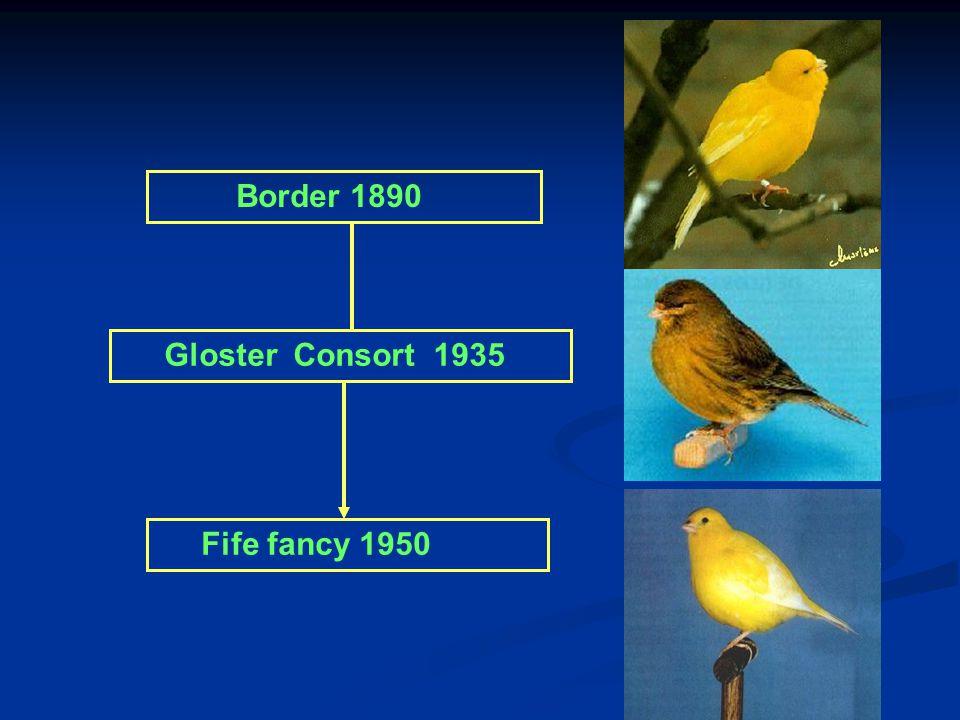 Grote van Gent 1700 Belgische bult 1800 Border x Gloster consort = Fife Fancy Lizard 1640 Norwich 1860 Yorkshire1880 Border 1890 Gloster Consort Glost