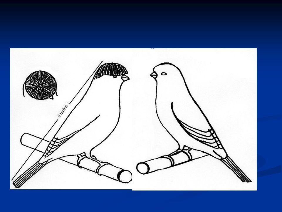 Alle kuifvogels worden gevraagd in de vorm van ongeveer dezelfde type als die van de Gloster. Lichaam: wat voller dan een kanarie met een goed gevulde
