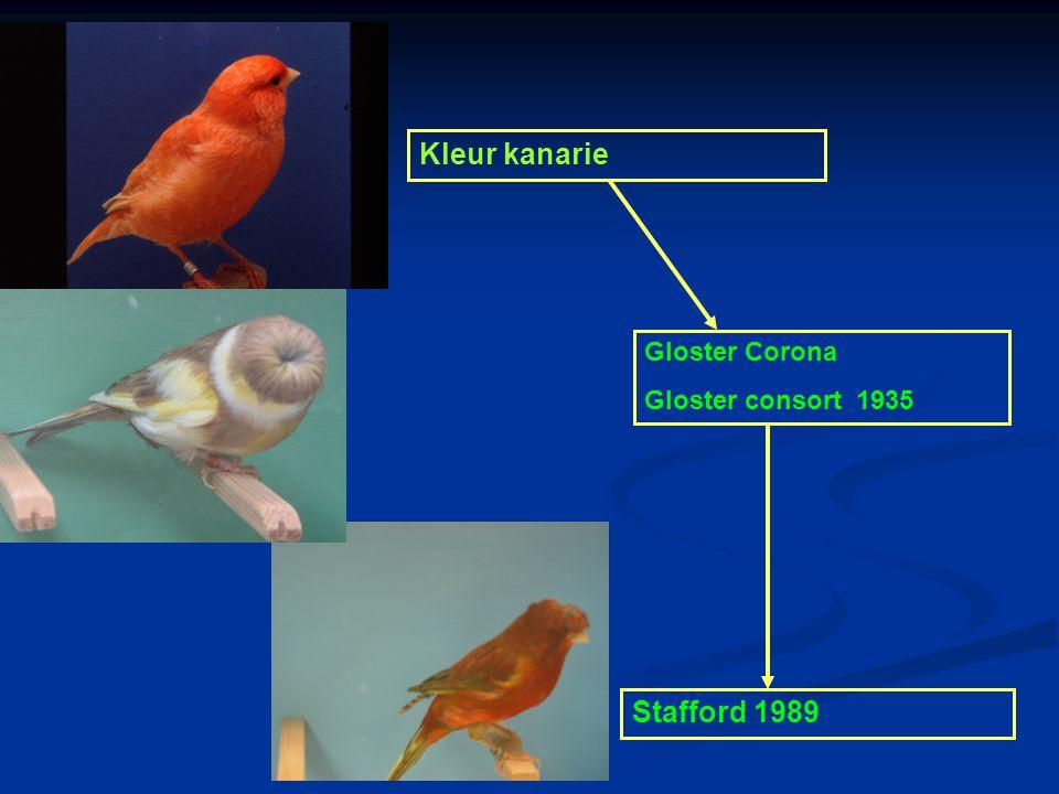 Grote van Gent 1700 Belgische bult 1800 Kleur kanarie x Gloster corona = Stafford canary Lizard 1640 Norwich 1860 Yorkshire1880 Border 1890 Gloster Co