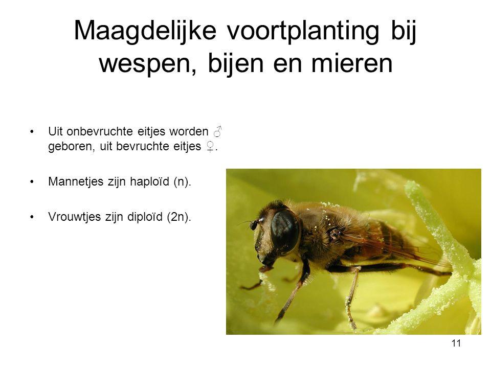 11 Maagdelijke voortplanting bij wespen, bijen en mieren Uit onbevruchte eitjes worden ♂ geboren, uit bevruchte eitjes ♀. Mannetjes zijn haploïd (n).