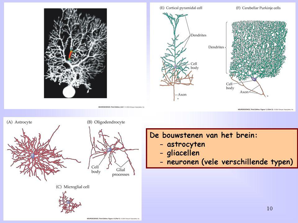 10 De bouwstenen van het brein: - astrocyten - gliacellen - neuronen (vele verschillende typen)
