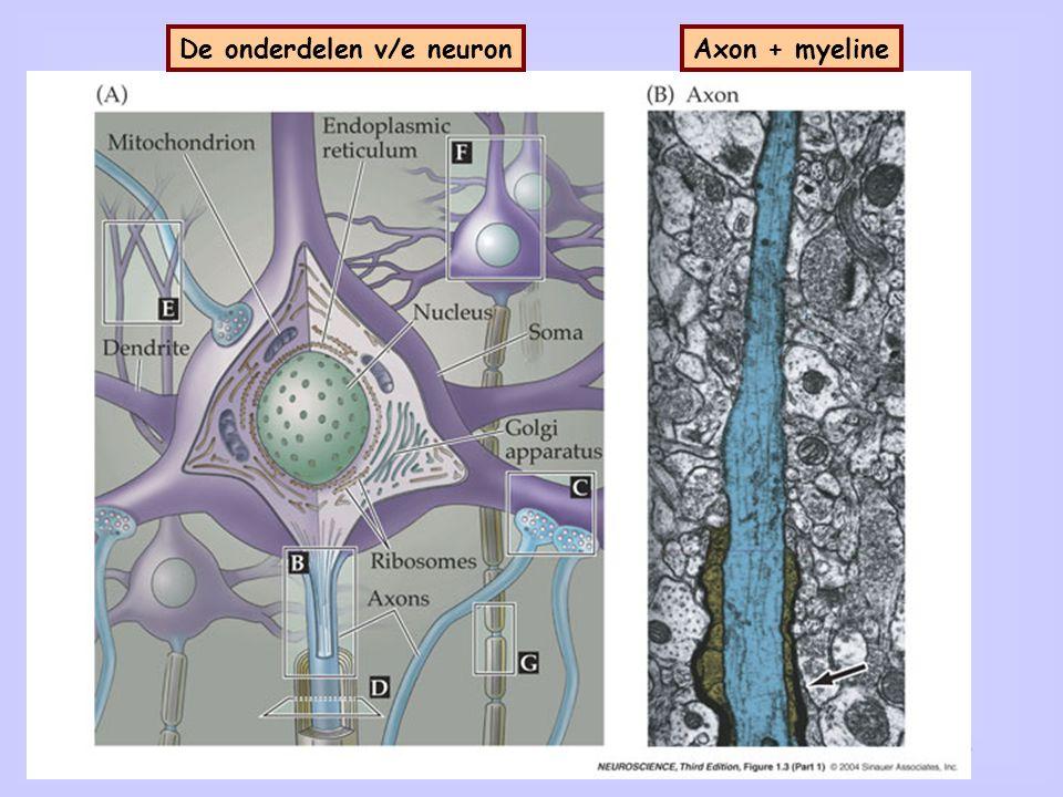 12 Axon + myelineDe onderdelen v/e neuron