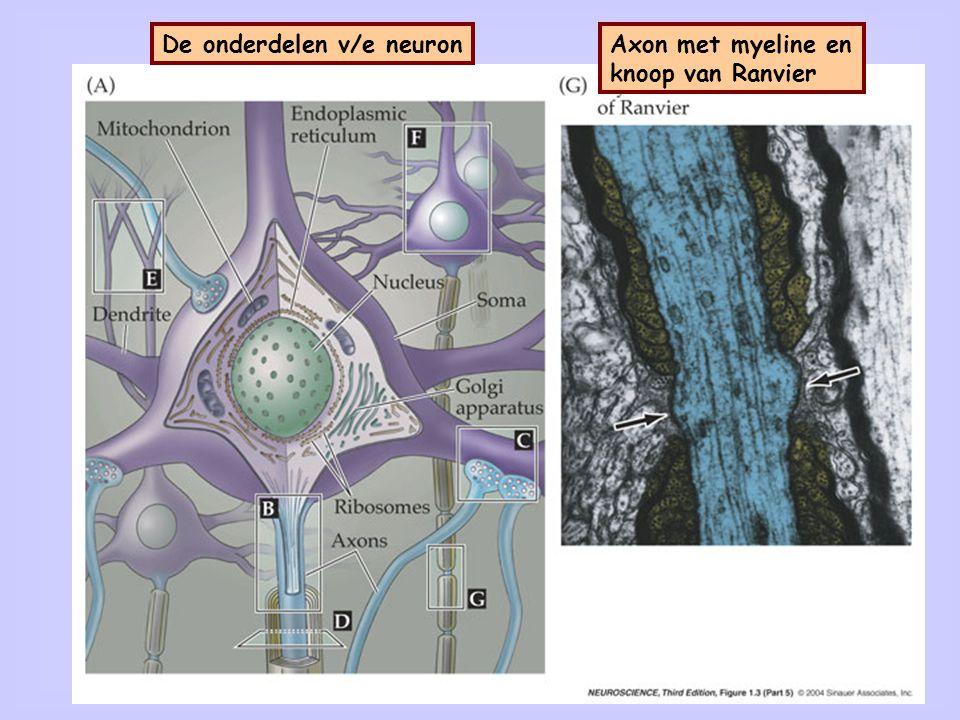 16 De onderdelen v/e neuronAxon met myeline en knoop van Ranvier