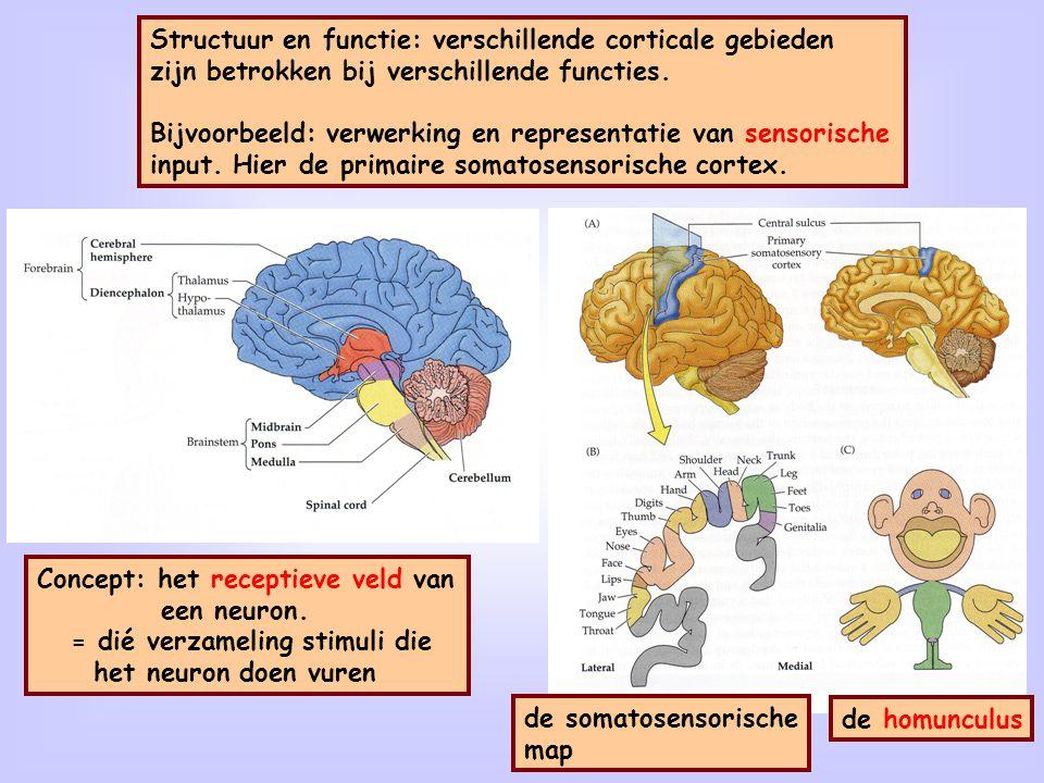 22 Structuur en functie: verschillende corticale gebieden zijn betrokken bij verschillende functies. Bijvoorbeeld: verwerking en representatie van sen