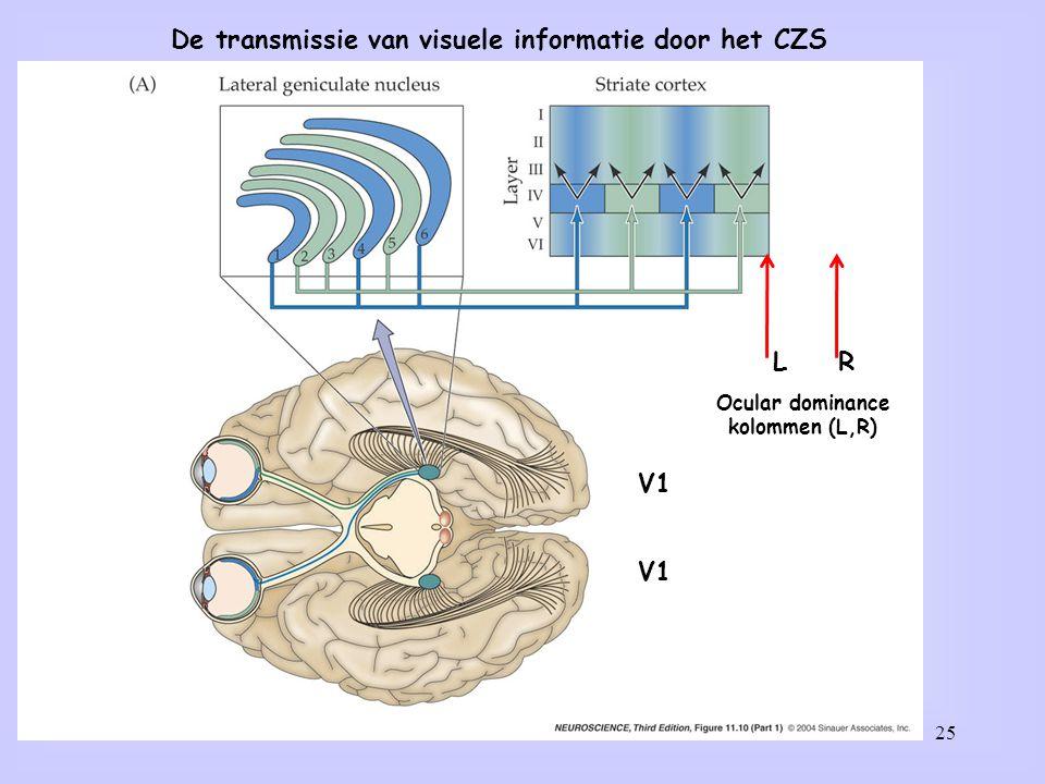 25 De transmissie van visuele informatie door het CZS Ocular dominance kolommen (L,R) LR V1