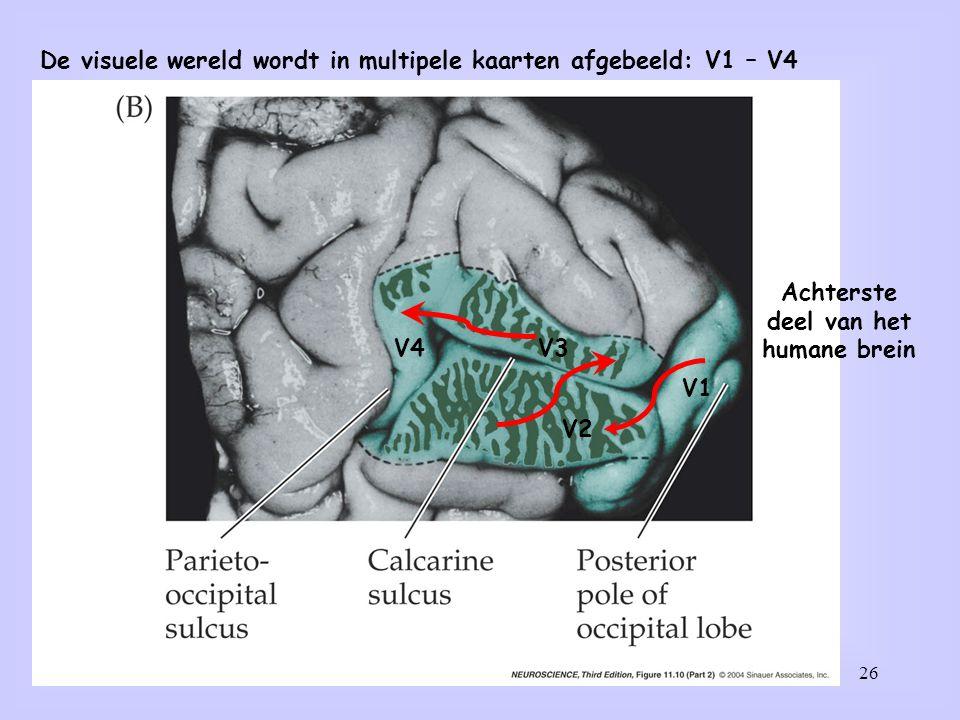 26 De visuele wereld wordt in multipele kaarten afgebeeld: V1 – V4 V1 V2 V3V4 Achterste deel van het humane brein