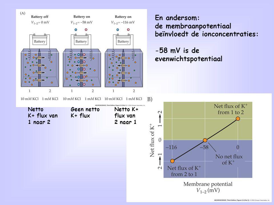 40 En andersom: de membraanpotentiaal beïnvloedt de ionconcentraties: -58 mV is de evenwichtspotentiaal Netto K+ flux van 1 naar 2 Geen netto K+ flux
