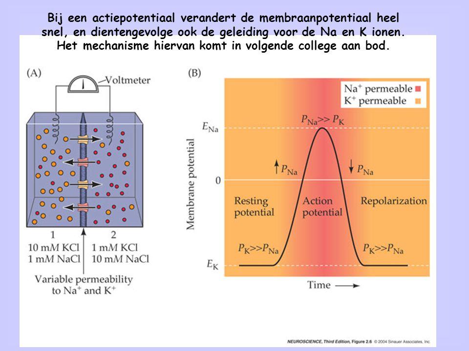 41 Bij een actiepotentiaal verandert de membraanpotentiaal heel snel, en dientengevolge ook de geleiding voor de Na en K ionen. Het mechanisme hiervan
