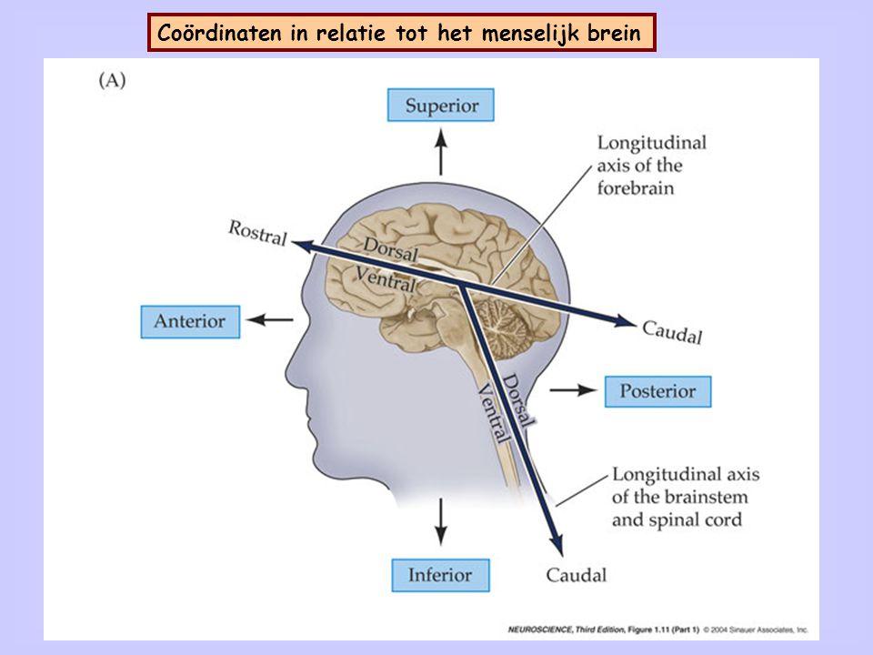 5 Denkbeeldige vlakken door het menselijk brein