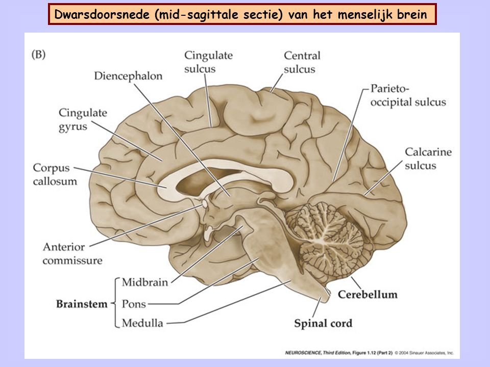 6 Dwarsdoorsnede (mid-sagittale sectie) van het menselijk brein