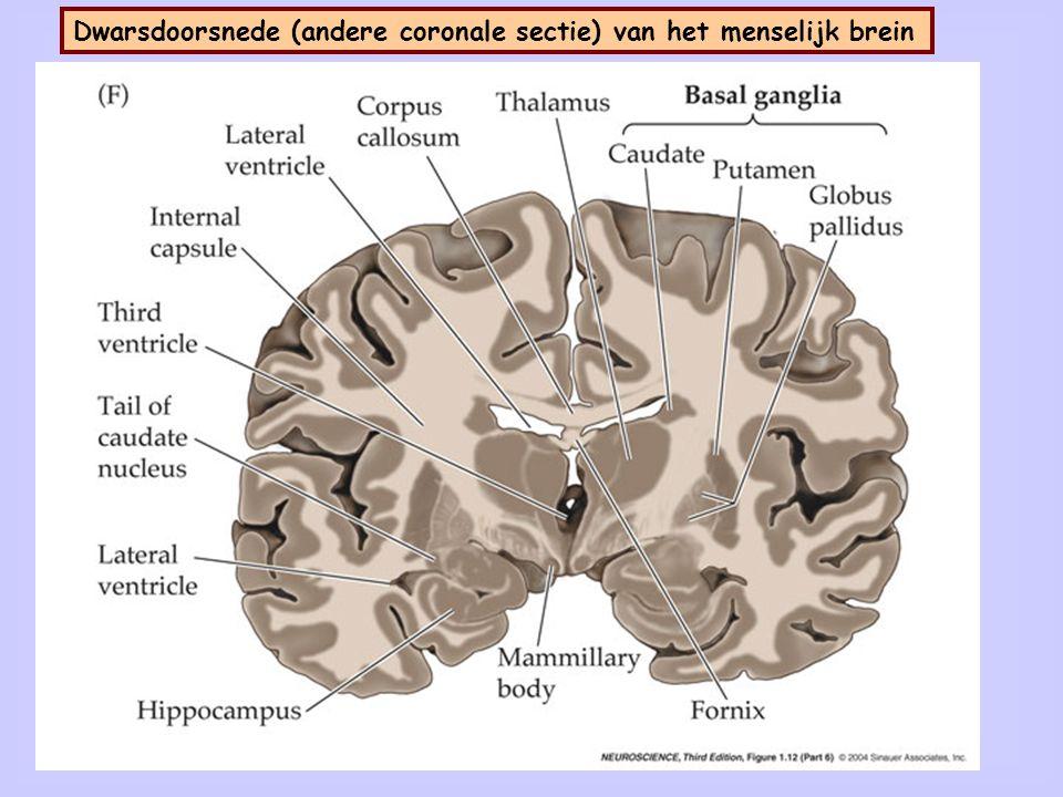 9 Neocortex is gelaagd (I t/m VI).