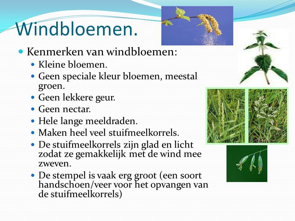 Windbloemen. Kenmerken van windbloemen: Kleine bloemen. Geen speciale kleur bloemen, meestal groen. Geen lekkere geur. Geen nectar. Hele lange meeldra