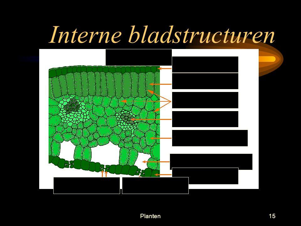 Planten14 Interne bladstructuren Houtvat Bastvat