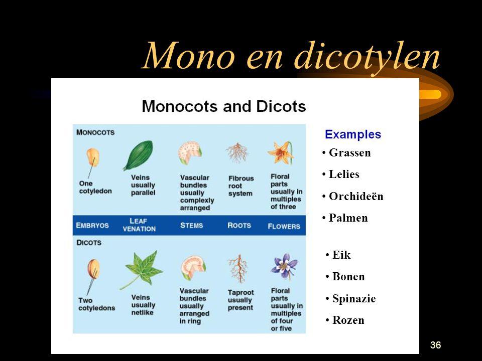Planten35 Interne stengelstructuren Dicotylen heeft ring Monocotylen heeft separate vaatbundels