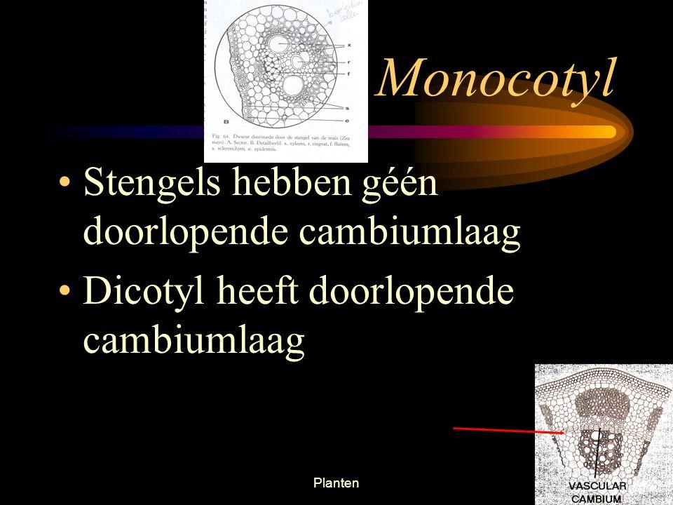 Planten37 Monocotyl Monocotyl – plant met één zaadlob. Heeft vaatbundels, deze vaatbundels bevatten zowel xyleem als floeëm in iedere bundel