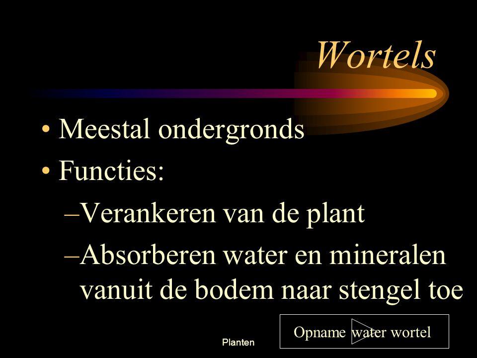 Planten38 Monocotyl Stengels hebben géén doorlopende cambiumlaag Dicotyl heeft doorlopende cambiumlaag